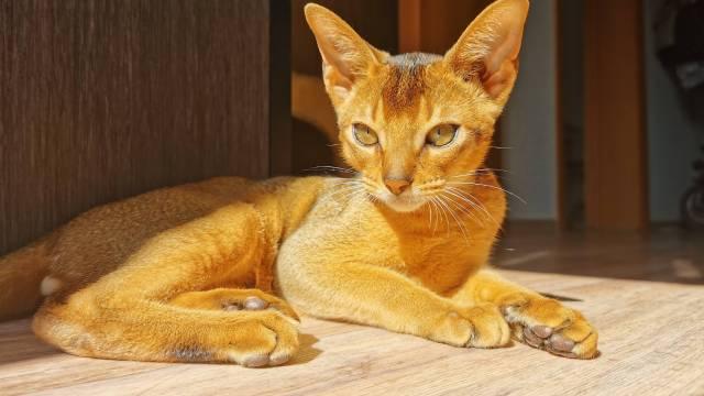 athletic cat breeds 2