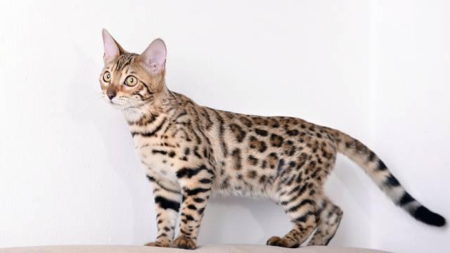 athletic cat breeds 3