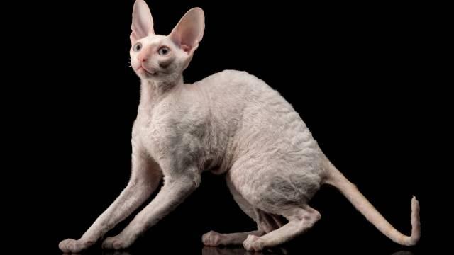 athletic cat breeds 6